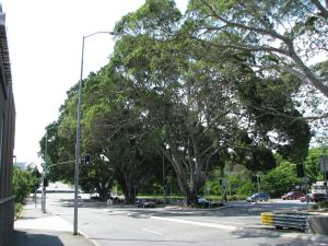 Kelvin Grove Fig Trees and Air Raid Shelter (2009); Heritage Branch staff