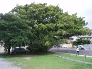 Fig Tree (2009); Heritage Branch staff