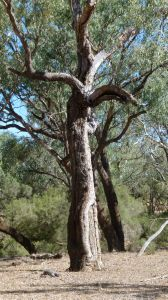 Landsborough's Blazed Tree, Camp 69 (2015); Peter Osborne