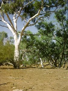 Moonah Creek 'Hanging Tree' (1964); Heritage Branch staff